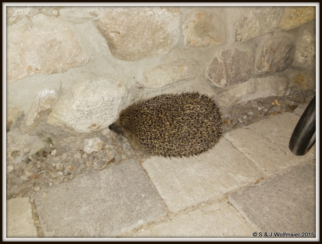 Hedgehog in our outdoor room