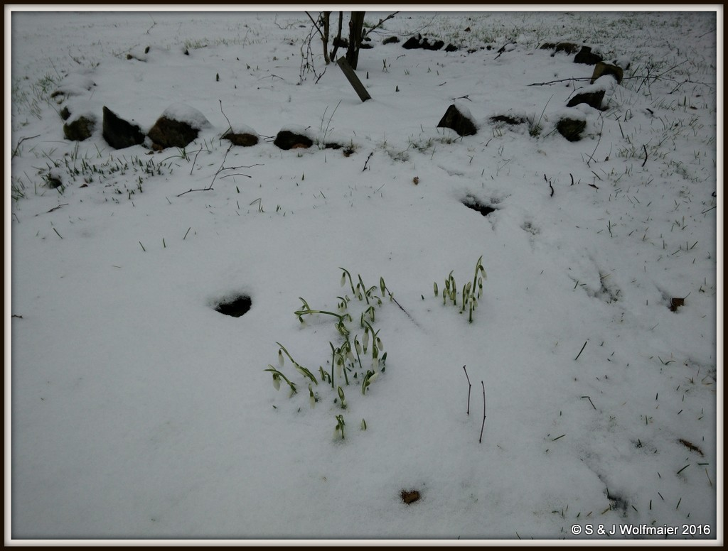 Snowdrops with snow
