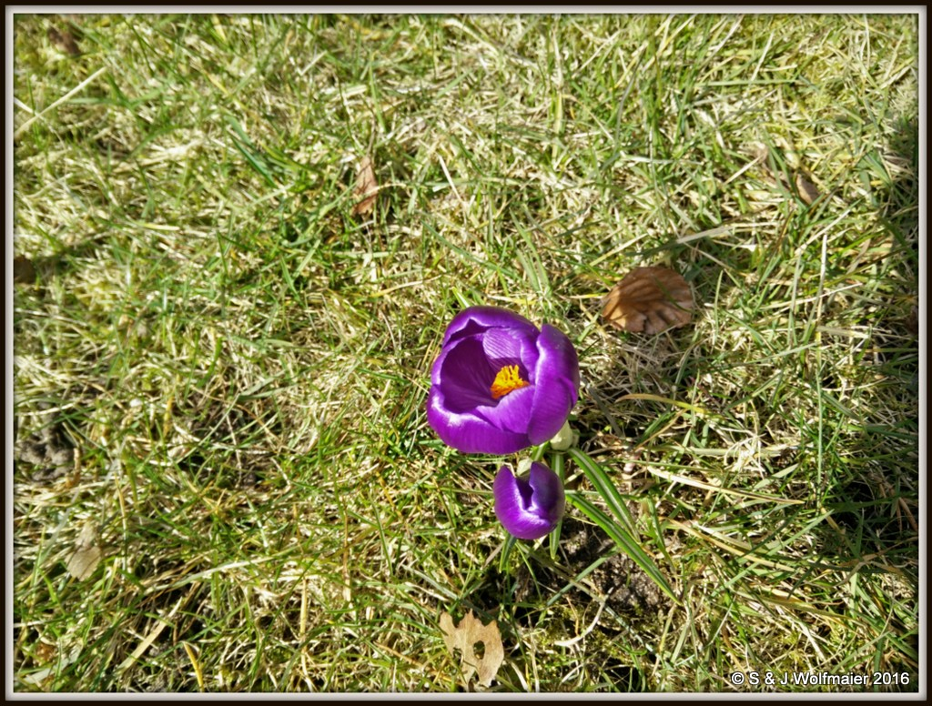 Crocus two and three