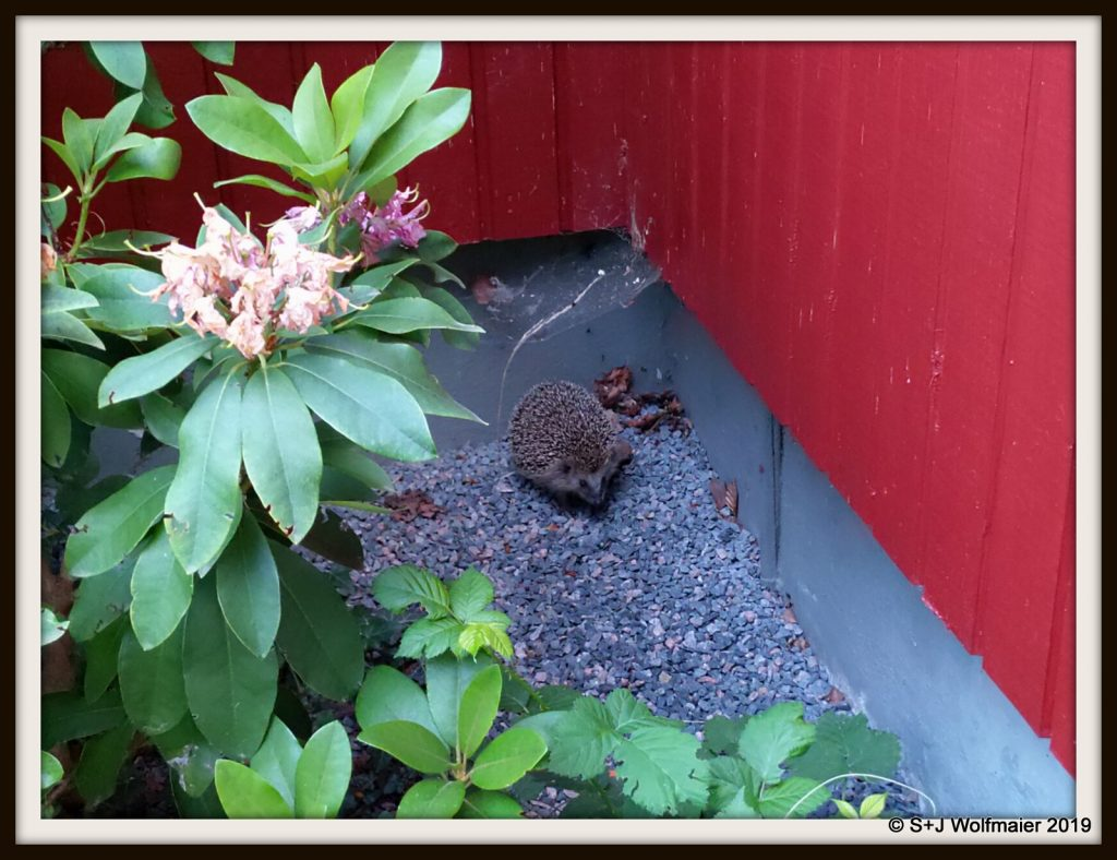 Hedgehog in the corner of the house