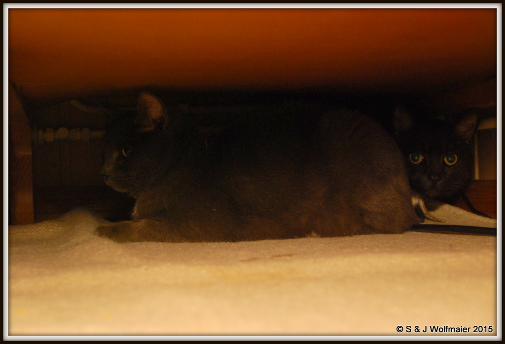 Siam and Milo hiding under the sofa.