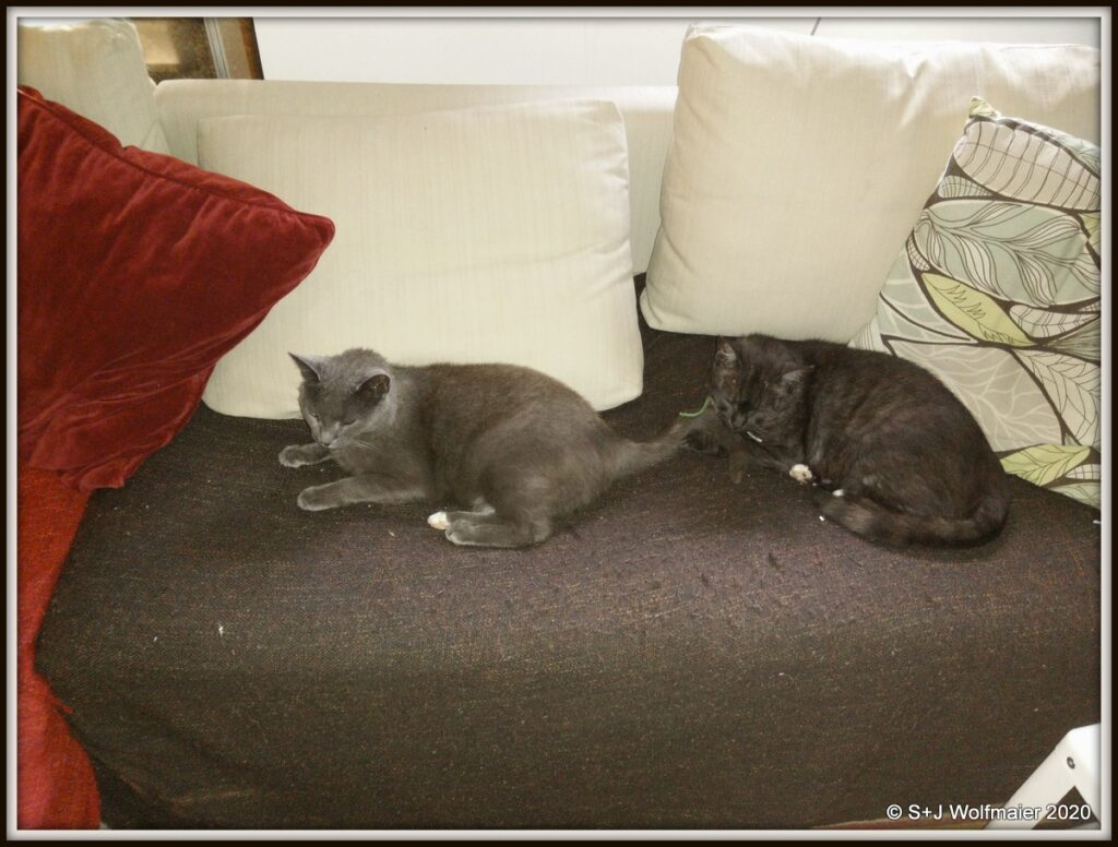 Siam and Milo on the sofa.